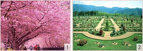 河津桜・河津バガテル公園