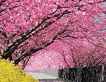 河津桜【春】